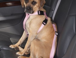 pet-protection, pet-driving-tips,